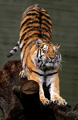 TIGRUL – campionul junglei