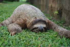 Care este cel mai leneș animal?  (VIDEO)