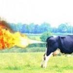 Gazul eliberat de vaci a provocat o explozie intr-o ferma