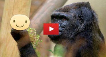Reacția unei gorile sictirită de atâtea poze
