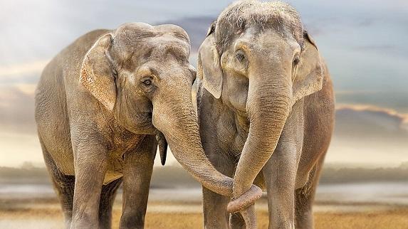 20 de curiozitati despre elefanti