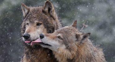 10 animale care se imperecheaza pe viata