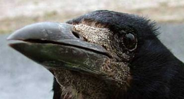 10 lucruri fascinante despre corbi