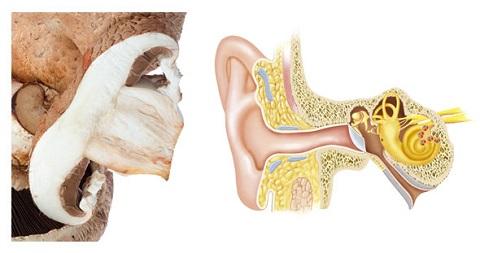 ciuperca-ureche