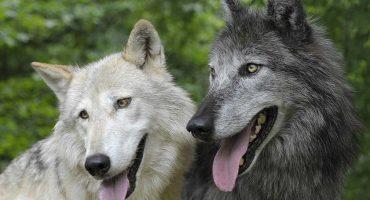Lupii sau câinii? Cercetătorii au descoperit care sunt mai inteligenți