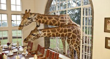 Restaurantul din Africa unde poți lua cina alături de girafe