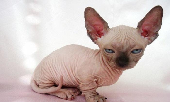 Top 10 cele mai ciudate rase de pisici