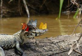 O dată-n viaţă – un fotograf a capturat un aligator cu o coroană de fluturi