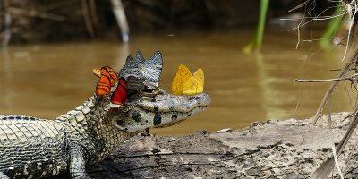 O dată-n viaţă - un fotograf a capturat un aligator cu o coroană de fluturi