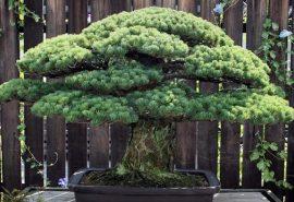 Bonsaiul în vârstă de 393 ani care a supraviețuit bombei de la Hiroshima