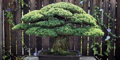 Bonsaiul în vârstă de 395 ani care a supraviețuit bombei de la Hiroshima