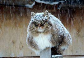 Fotografii fermecătoare de la o fermă cu pisici din Siberia