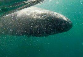 512 ani este vârsta unui rechin viu din Groenlanda