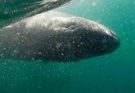 512 ani este vârsta unui rechin din Groenlanda