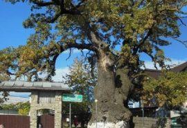 Cel ma bătrân stejar din sud-estul Europei sub care s-a odihnit Ștefan cel Mare