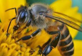 20 de curiozități despre albine