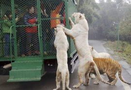 Grădina Zoologică inversă. Aici vizitatorii sunt puși în cuști, iar animalele se plimbă libere