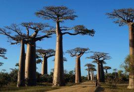 Pădurea din Madagascar cu arbori baobab vechi de peste 800 de ani