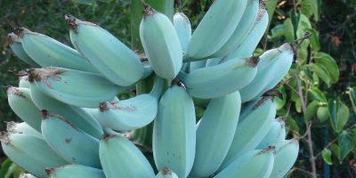 Bananele albastre cu gust de înghețată de vanilie