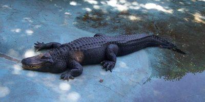 20 de Curiozități Despre Aligatori