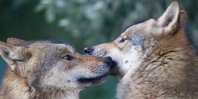 20 de curiozități interesante despre Lupi