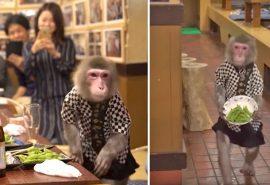 Într-un restaurant din Japonia, maimuțele servesc la mese
