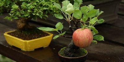 TOP 10 cei mai frumoși bonsai din lume
