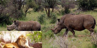 Mai mulți braconieri au fost mâncați de lei după ce veniseră să ucidă rinoceri