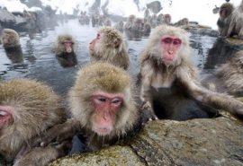 Obiceiul maimuțelor din Japonia de a se relaxa în ape termale