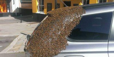 Mii de albine au urmărit două zile o mașina pentru a-și salva regina blocată înăuntru