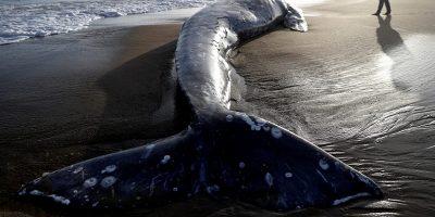 40 de kilograme de plastic au fost găsite în stomacul unei balene