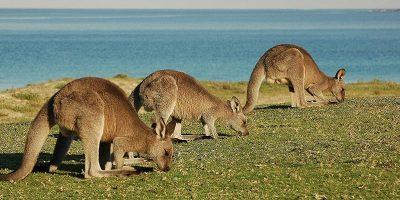 25 de curiozități despre canguri