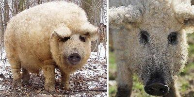 Cea mai ciudată rasă de porc