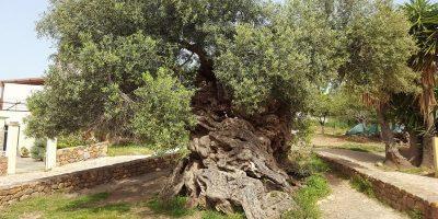 Măslinul în vârstă de 2000 de ani care produce măsline și astăzi