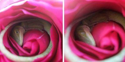 O șopârlă a fost găsită dormind confortabil într-un trandafir