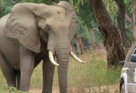 Un elefant împușcat în cap de braconieri a cerut ajutorul oamenilor