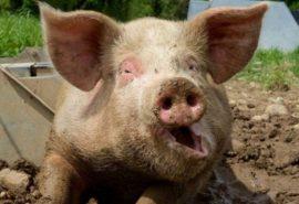 De ce evreii și musulmanii nu mănâncă carne de porc?