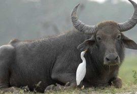 Care este diferența dintre bou și taur?