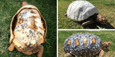 O țestoasă cu carapacea arsă într-un incendiu a primit alta nouă făcută în laborator