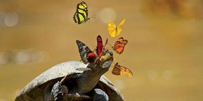 De ce fluturii beau lacrimi de broască țestoasă?