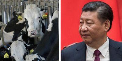 De ce chinezii nu consumă lapte?
