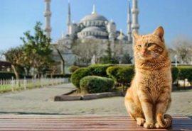 De ce sunt atât de multe pisici în Istanbul?