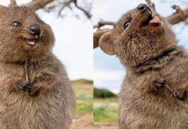 Quokka - cel mai fericit animal de pe Pământ