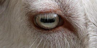 De ce caprele au pupilele dreptunghiulare?
