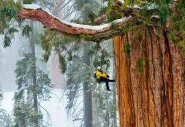 Cel mai înalt copac din lume. Dimensiunile lui sunt uimitoare