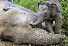 Este adevărat că elefanții plâng când le moare cineva drag?