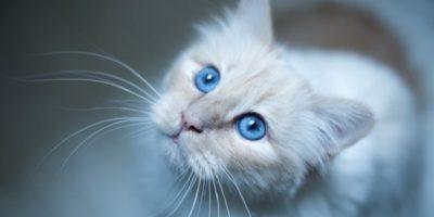 De ce majoritatea pisicilor albe cu ochi albaștri sunt surde?