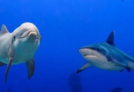 De ce rechinii se tem de delfini?