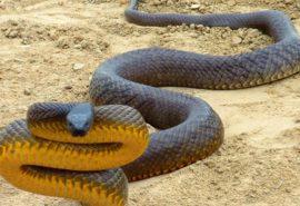 Șarpele cu cel mai toxic venin de pe planetă