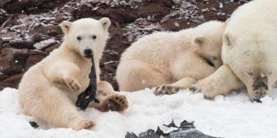 Dieta urșilor polari conține 25% plastic
